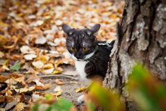 A cat on a leash playing in fall dry leaves Stock Photos