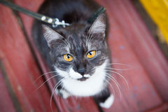 A cat on a leash playing on the wooden bench. Outdoor in fall Stock Image