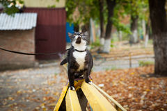 A cat on a leash playing on the wooden bench Stock Photos