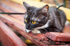 A cat on a leash playing on the wooden bench Royalty Free Stock Image