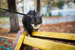 A cat on a leash playing on the wooden bench Stock Photo