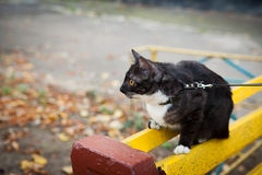 A cat on a leash playing on the wooden bench Stock Images