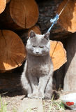 Cat on a leash. Rural cat on a leash. That would not have escaped Stock Photo