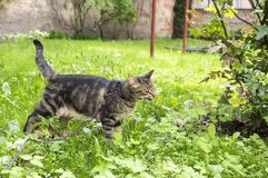 Cat on the leash for a walkies in the garden eating grass. Cat on the leash for a walkies in the garden eating green grass Stock Image