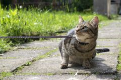 Cat on the leash for a walkies prostesting. Comical tomcat in the garden Royalty Free Stock Photography