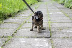 Cat on the leash for a walkies on the sidewalk do not want to go home. Comical scene Royalty Free Stock Images