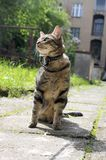 Cat on the leash for a walkies sitting like a model. Funny cat in the garden, greenery and sunlight, domestic cat on sidewalk, comical beast Royalty Free Stock Image