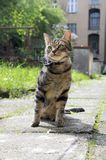 Cat on the leash for a walkies sitting like a model. Stubborn attitude Royalty Free Stock Photography