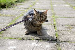 Cat on the leash for a walkies sitting in the middle of the pavement, eye contact. Comical scene Stock Image