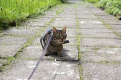 Cat on the leash for a walkies sitting in the middle of the pavement, eye contact. Dont want to go home Royalty Free Stock Photos