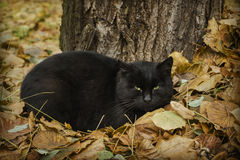 Cat in leaves. Cat in colourful autumn leaves royalty free stock images