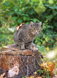 Cat with leaves sitting on a tree stump and looks, autumn Royalty Free Stock Images