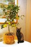 Cat and lemon tree Royalty Free Stock Photography