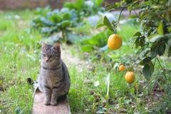Cat and lemon tree Stock Image