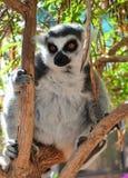 Cat Lemur-Lemur-cattaaffe Zoo-Teneriffa-Spanien Lizenzfreies Stockfoto