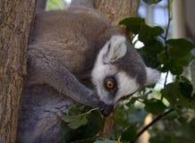 Cat lemur the primacy of Madagascar mammal Royalty Free Stock Photography