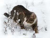 Cat hunting in snow Stock Photography