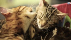 A cat with leopard coloring takes care of another cat. Washes it. Sleepy cats.  stock video footage
