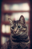 Cat in the library Stock Photography