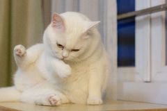Cat lick cleaning. White chubby cat licking legs Royalty Free Stock Image