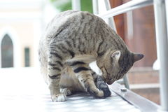 Cat. The cat lick his tail Stock Photos