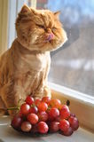 Cat licked and grapes stock image