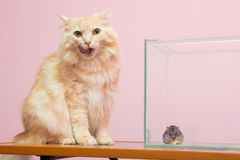 The cat licked, near aquarium hamster sitting and eating cheese Stock Image
