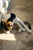 Cat licking feet and sitting on a floor. Royalty Free Stock Photo