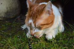 Cat licking grass. Royalty Free Stock Photos