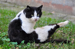 Cat licking its fur in the grass Royalty Free Stock Images