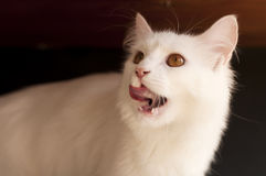 Cat licking its mouth Stock Photo