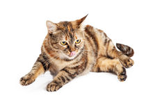 Cat Licking Lips and Lifting Paw Stock Photos