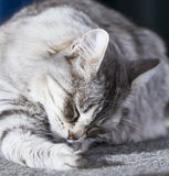 Cat licking, silver siberian breed Stock Photo