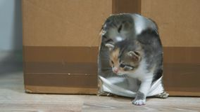 Cat licks the kitten. Little kittens in the house and cardboard with the cat make the first steps. cute three-colored. Cat licks kitten. Little kittens in the stock footage