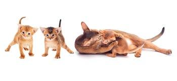 Cat licks the kitten. On white background stock photo