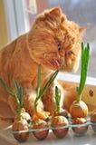 Cat licks onion Stock Photo