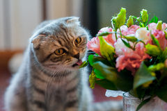 Cat licks wedding bouquet at home Royalty Free Stock Photos