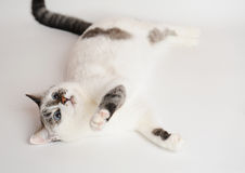 Cat lie and plays. White cat lie and plays Stock Image