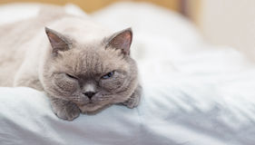 Cat lies on a bed and looking with interest Royalty Free Stock Photography