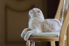 The cat lies on a chair and looks up royalty free stock photo