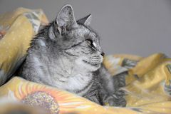 The cat lies on a featherbed. Gray tabby cat. The cat lies on a featherbed. Gray tabby cat Stock Images
