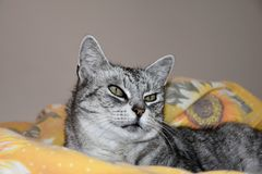 The cat lies on a featherbed. Gray tabby cat. The cat lies on a featherbed. Gray tabby cat Royalty Free Stock Photography