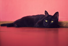 Cat lies on a floor Stock Photography