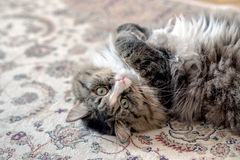 Cat lies on the floor. cat lying on the carpet. cat resting on the carpet. cat resting on the floor. cat relaxing on the Royalty Free Stock Image