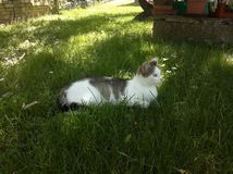 Cat lies in the grass and looks attentively to the side. Image royalty free stock images