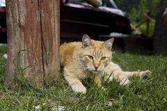 The cat lies on the grass. A rural domestic cat resting after eating. Moggy cat is lying under a tree royalty free stock images