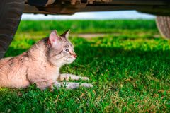 Cat lies in green grass. Portrait cute cat with blue eyes lies next to the car wheel. Outdoor shot at sunny day. Copy space Stock Photos
