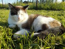 The cat lies on the green grass stock photos