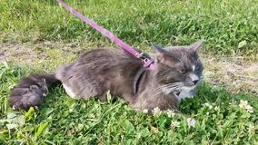 Cat lies on the ground outdoor. Gray with white spots cat lies on the ground outdoor, tied on a harness and leash stock footage