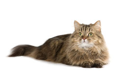 Cat lies and looking up Royalty Free Stock Photos
